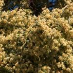 Hársvirágok